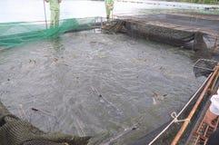 Les poissons agricoles d'esturgeon dans la culture de cage dans Tuyen frappent le lac Plusieurs espèces des esturgeons sont moiss Photo libre de droits