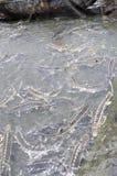 Les poissons agricoles d'esturgeon dans la culture de cage dans Tuyen frappent le lac Plusieurs espèces des esturgeons sont moiss Photo stock