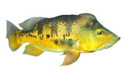 Les poissons bas. Photos libres de droits