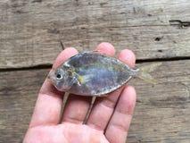 Les poissons blancs marins vietnamiens Images libres de droits