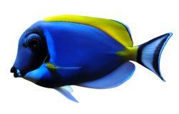 les poissons bleus saupoudrent le chirurgien Photographie stock libre de droits