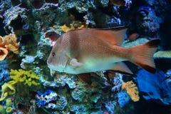 Les poissons colorés dans l'aquarium Photos stock