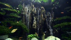 Les poissons colorés nagent dans le grand bel aquarium avec la cascade artificielle du bois et sable et beaucoup d'algue banque de vidéos