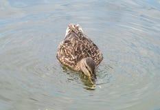 Les poissons contagieux de canard dans l'eau Photo libre de droits