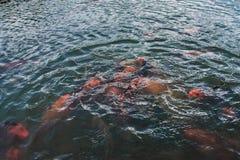 Les poissons décoratifs colorés flottent dans un étang artificiel Image libre de droits