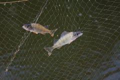 Les poissons dans le réseau Image stock