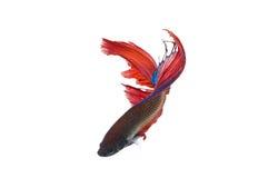Les poissons de betta Photo stock