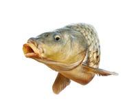 Les poissons de carpe avec la bouche s'ouvrent Images stock