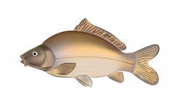 Les poissons de carpe (Cyprinus carpio) dirigent l'illustration Photos stock
