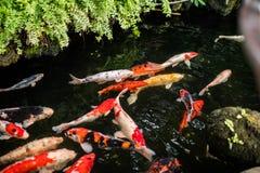 Les poissons de fantaisie colorés de carpe ou les poissons de koi nagent Image libre de droits