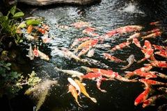 Les poissons de fantaisie colorés de carpe ou les poissons de koi nagent Images stock
