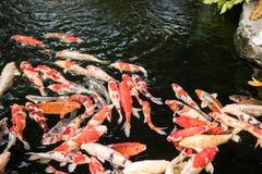 Les poissons de fantaisie colorés de carpe ou les poissons de koi nagent Images libres de droits