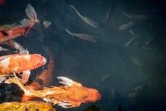Les poissons de fantaisie colorés de carpe ou les poissons de koi nagent Photographie stock libre de droits