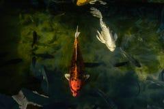 Les poissons de fantaisie colorés de carpe ou les poissons de koi nagent Natation de poissons de Koi dans l'étang Photographie stock libre de droits