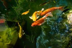 Les poissons de fantaisie colorés de carpe ou les poissons de koi nagent Natation de poissons de Koi dans l'étang Photos stock