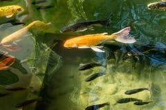 Les poissons de fantaisie colorés de carpe ou les poissons de koi nagent Natation de poissons de Koi dans l'étang Photo libre de droits