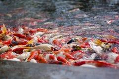 Les poissons de Koi ont bloqué à l'étang pour des nourritures Photographie stock libre de droits