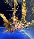 Les poissons de lion dans animal-font des emplettes aquarium Image stock