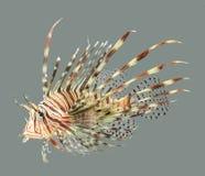 Les poissons de lion se ferment vers le haut Photo libre de droits