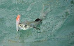 Les poissons de maquereau espagnol se sont propagés le crochet et la ligne de pêche Photos libres de droits