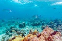 Les poissons de Trevally s'approchent du fond des océans images libres de droits