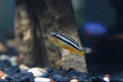Les poissons de zèbre nagent avec élégance Image stock