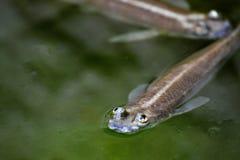 Les poissons drôles sont décontractés sur l'eau de rivière Photographie stock libre de droits
