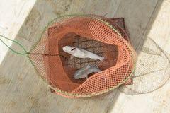 Les poissons en filet de pêche Images stock