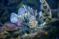 Les poissons et le baloon de lion pêchent dans l'aquarium marin Photos stock
