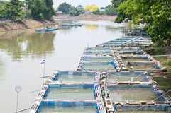 Les poissons mettent en cage l'agriculture dans le fleuve. Photo libre de droits