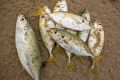 Les poissons meurent sur la plage par pollution Photo libre de droits