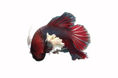 les poissons Rouge-affichés ont une grande oreille blanche sur un fond blanc Photos stock