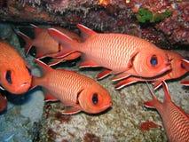 Les poissons rouges grouillent/écoles, soldierfish d'écarlate Image libre de droits