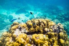 Les poissons sous-marins du monde de mer nagent autour de la pierre de roche Photographie stock