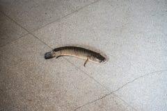 Les poissons t?te de serpent barr?s essayent de s'?chapper de la cage image stock