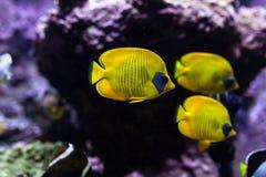 Les poissons tropicaux jaunes se réunissent dans l'aquarium bleu d'eau de mer de récif coralien Photos libres de droits
