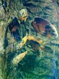 Les poissons tropicaux nagent dans l'aquarium à Kiev image libre de droits