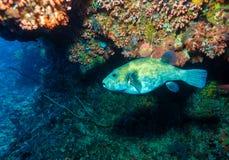 Les poissons tropicaux s'approchent du récif coralien coloré Photographie stock