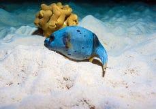 Les poissons tropicaux s'approchent du récif coralien coloré Images libres de droits