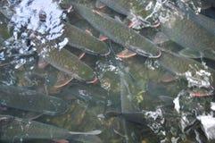 Les poissons vietnamiens de Dieu nagent dans le courant de Dieu de la came Luong en province de Thanh Hoa Image stock
