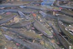 Les poissons vietnamiens de Dieu nagent dans le courant de Dieu de la came Luong en province de Thanh Hoa Photographie stock libre de droits