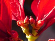 Les poivrons ornementaux produisent de petits fruits colorés Images libres de droits