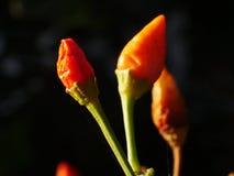 Les poivrons ornementaux produisent de petits fruits colorés Images stock