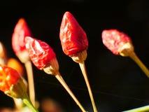Les poivrons ornementaux produisent de petits fruits colorés Photo stock
