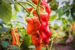 Les poivrons rouges se développent en serre chaude, d'un rouge ardent et pas poivrons, nourriture saine, fond vert de feuille Photo libre de droits