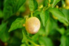 Les poivrons se développent dans le jardin, sembler coloré de poivrons bon Images stock