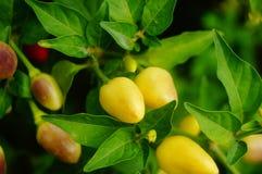 Les poivrons se développent dans le jardin, sembler coloré de poivrons bon Photos libres de droits
