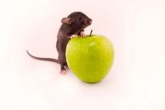les pommes autoguident le rat Photo stock