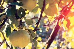Les pommes de jardin, pommier s'embranche avec les pommes mûres en parc de ville tonalité Photographie stock
