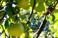 Les pommes de jardin, pommier s'embranche avec les pommes mûres en parc de ville tonalité Images libres de droits